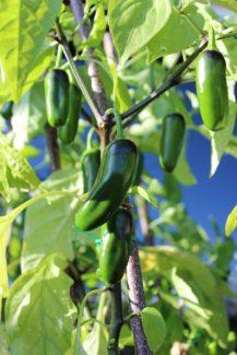 Planta de Jalapeños desarrollada