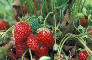 Frutos fresa y estolones