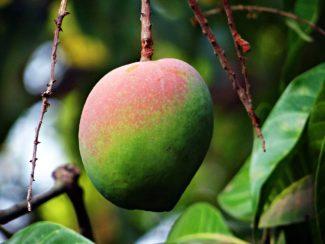 Colores del mango