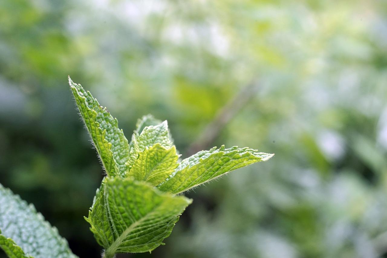 Menta: Una peligrosa compañera para tus plantas, aprende más sobre ella