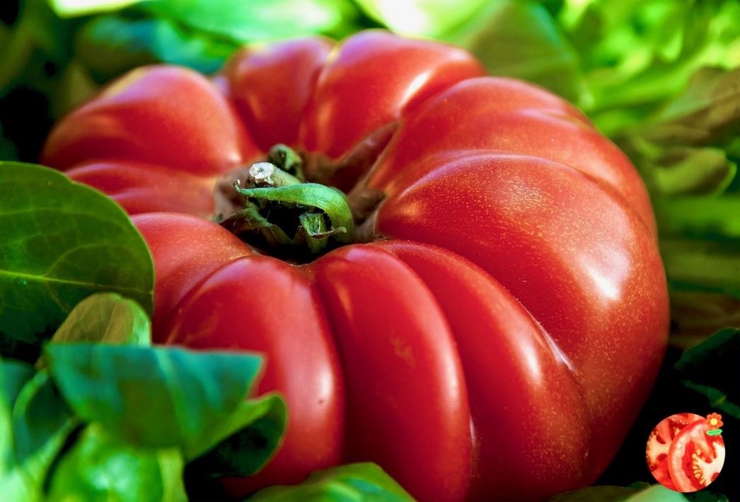 Tomate Corazón De Buey La Variedad Gigante Cultivo E Información