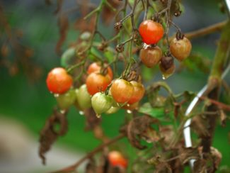 Planta de tomate con hojas secas