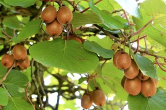 Árbol con muchas variedades de Kiwi
