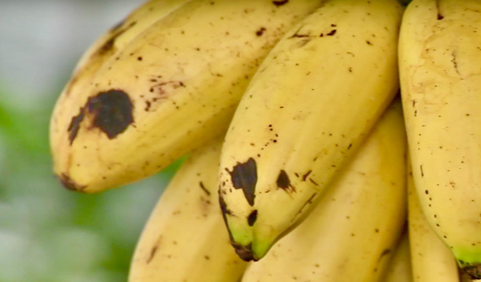 Plátano Manzano: La agridulce fruta en peligro de extinción