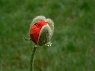 Amapola floreciendo