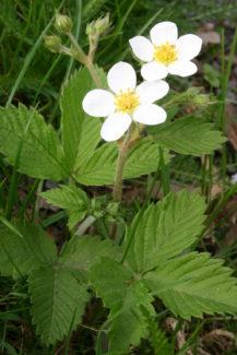 Flores de Fresa Almizcle