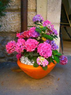 Hortensias la gran belleza de los jardines de todo el mundo - Hortensias cuidados maceta ...