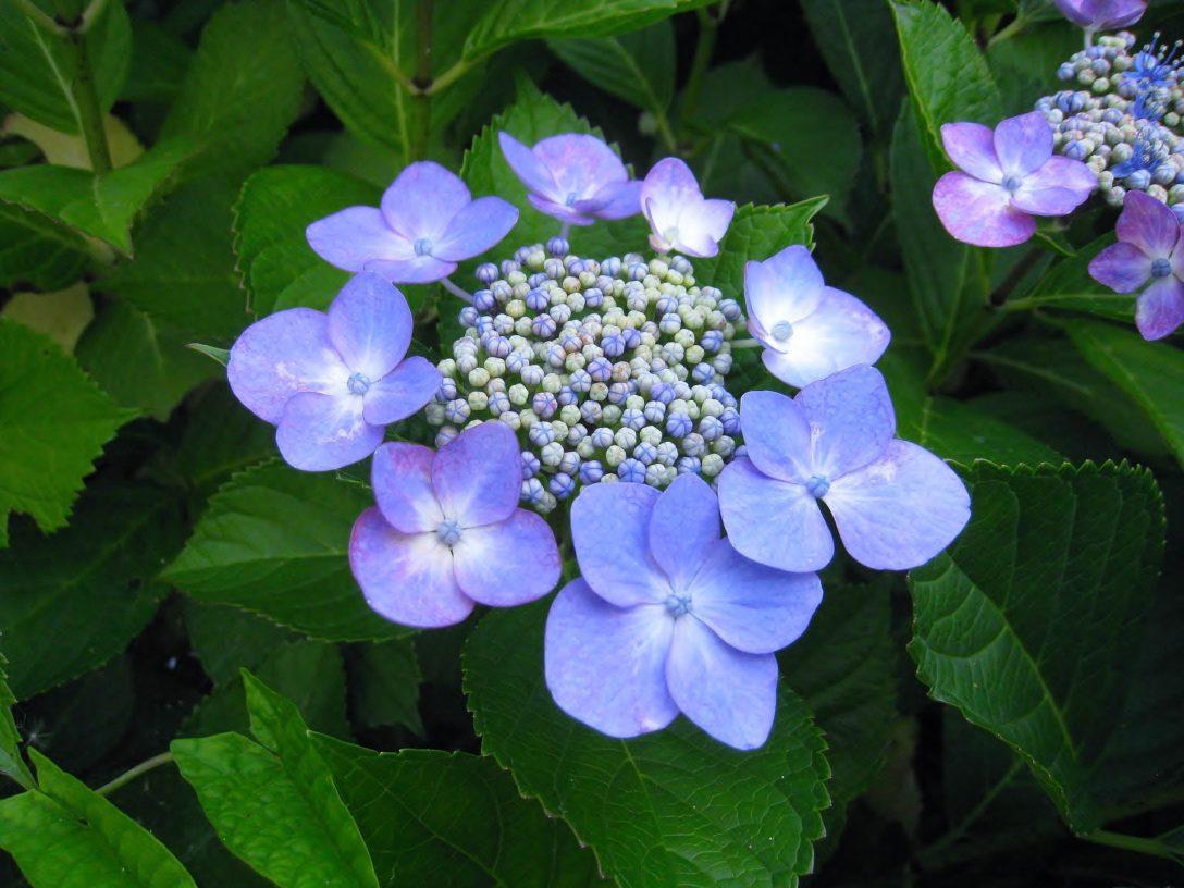 Hortensia serrata la hortensia que conquist la monta a - Variedades de hortensias ...