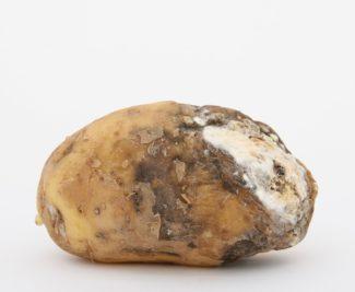 Una patata que tiene mala pinta