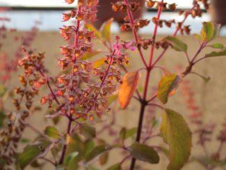 Planta en el jardín con otras de su variedad