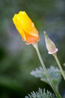 El momento ideal para recolectarla y usarla como elemento decorativo es cuando está apunto de florecer