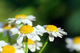 Un grupo de flores floreciendo en la planta disfrutando del Sol