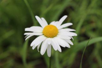 Los pétalos curvados de la flor de esta variedad, momento de la recolecta ideal