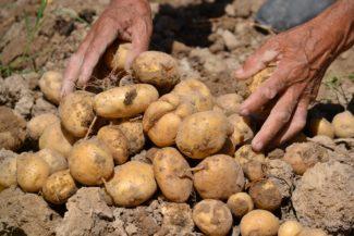 Último paso: Recoger las patatas del suelo