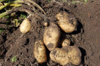 Patata Agria en la planta