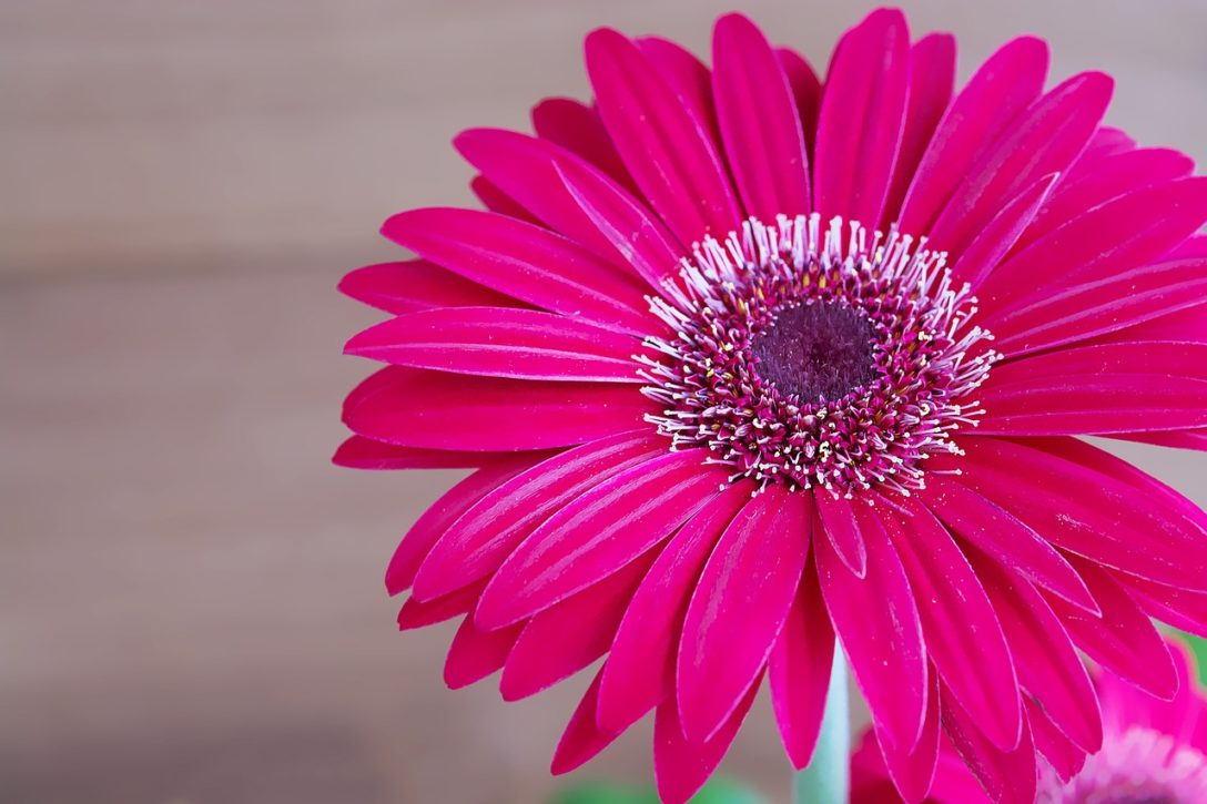 margarita gerbera exótica y desafiante una flor única para tu jardín