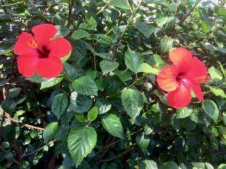 Una variedad de Hibiscus Resistentes
