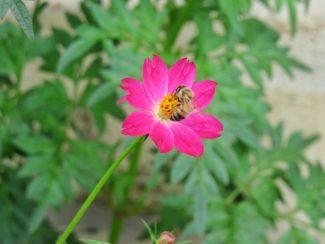 Como todas las variedades de cosmos atrae muy bien a los insectos polinizadores
