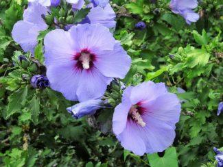 """Las variedades pueden tener llegar a tener un nombre propio si se vuelven muy famosas, como la """"Blue bird"""""""