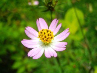 Ulam Raja de color rosa pálido