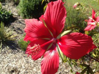 Hibiscus Estrella de Texa