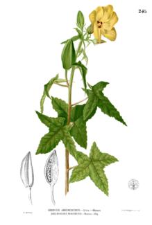 Infografia Abelmoschus moschatus