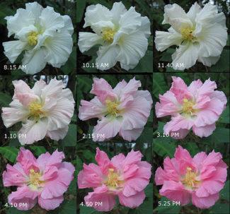 Hibiscus mutabilis cambiando el color