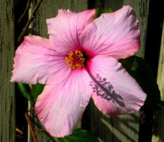 Un primer plano de la flor recibiendo la luz del sol, podemos observar su gran tamaño