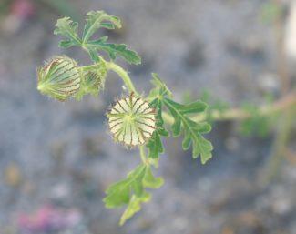 Una flor de Hibiscus Trionum que está apunto de florecer, lo hará cuando tenga la exposición al sol adecuada