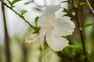 La luz bañando los petalos del hibiscus blanco hawaiano