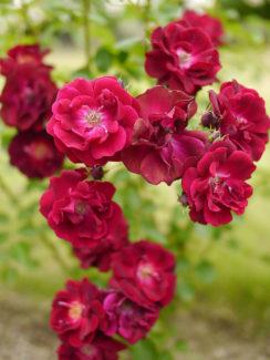 Foto de T.Kiya - Variedad de Rosa Polyantha Rouge