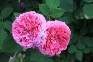 Las flores de Damasco pueden ser dobles o simples