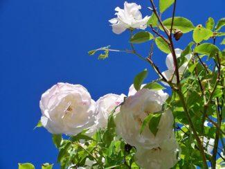 Un híbrido de la rosa Fee des Neiges con discretos colores rosas