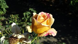 """Esta es una de las variedades de la rosa Grandiflora llamada """"Honey Dijon"""""""