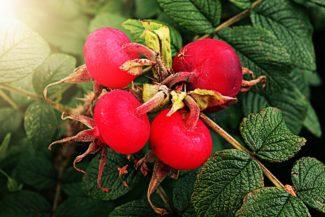 Frutos del arbusto Rosa rubiginosa