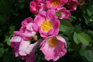 En la mata crecen la rosa gallica, simples o dobles, de gran color y belleza