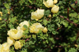 Rosa Ms Bankie Amarilla pálida en fila con muchas flores