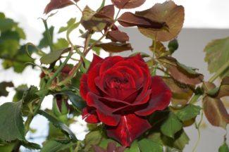 Rosa Grandiflora roja oscuro