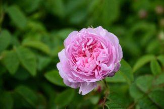 La flor tiene 100 pétalos y es muy aromática, brilla con un color rosa especial
